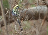 Pale-headed Rosella - Platycercus adscitus