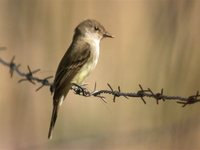 Flammulated Flycatcher - Deltarhynchus flammulatus