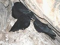 Juveniles and adult Common, or Red-billed, chough (Pyrrhocorax pyrrhocorax) © Phil Farrer