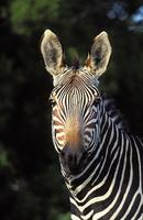 Cape Mountain Zebra, Equus zebra zebra, Mountain Zebra National Park, South Africa (25740)