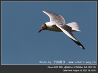 Larus brunnicephalus Brown-headed Gull 棕頭鷗 045-023