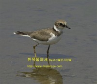 흰목물떼새 Long-billed Plover