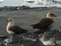The South Polar or Antarctic Skua, Stercorarius maccormicki