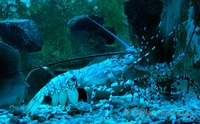 Panulirus ornatus - Ornate spiny lobster