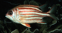 Sargocentron rubrum, Redcoat: fisheries, aquarium