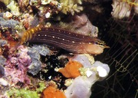 Ecsenius pictus, White-lined comb-tooth: aquarium