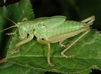 Tettigonia viridissima - Great Green Bush-Cricket