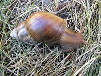 Achatina fulica - African Land Snail