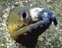 Image of: Ophichthidae (snake eels and worm eels)