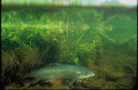 Image of: Salmo salar (Atlantic salmon)