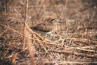 Double-striped Thick-knee - Burhinus bistriatus