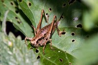 : Pholidoptera griseoaptera; Dark Bush-cricket