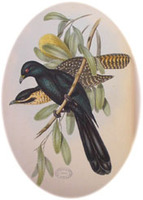 Common Koels. Image from: John Gould (1804-81) The birds of Australia 1840-48. 7 vols. 600 plate...