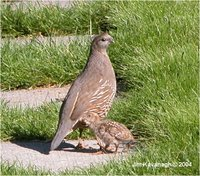 California or Valley Quail Callipepla californica