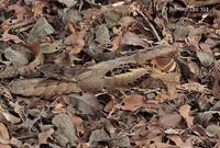 Image of: Caprimulgus macrurus (large-tailed nightjar)