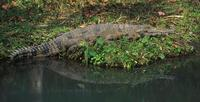 Image of: Crocodylus cataphractus (slender-snouted crocodile)