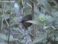Chestnut-faced Babbler - Stachyris whiteheadi