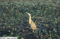 Pinnated Bittern - Botaurus pinnatus