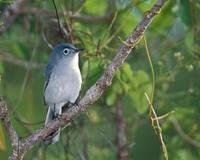 Blue-gray Gnatcatcher (Polioptila caerulea) photo