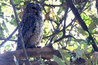 Mottled Wood-Owl - Strix ocellata