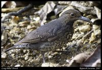 Long-billed Thrush - Zoothera monticola
