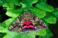 Dark Crimson Underwing ( Catocala sponsa ) , fam . Noctuidae stock photo