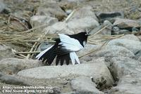 Fig. 17. Japanese Wagtail : 검은등할미새