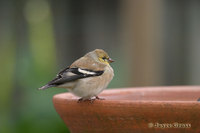 : Carduelis tristis; American Goldfinch
