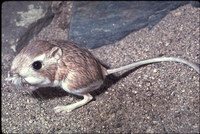 : Dipodomys deserti; Merriam's Kangaroo Rat