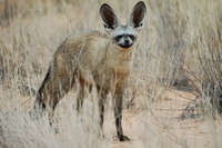 : Otocyon megalotis; Bat-eared Fox