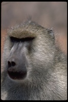 : Papio cynocephalus; Yellow Baboon