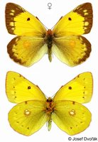 Colias myrmidone - Danube Clouded Yellow