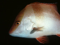 Lutjanus sebae, Emperor red snapper: fisheries, aquaculture, gamefish, aquarium