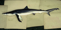Prionace glauca, Blue shark: fisheries, gamefish