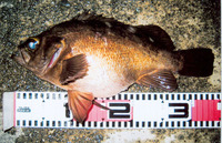 Sebastes inermis, : fisheries, aquaculture, gamefish