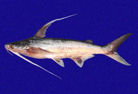 Bagre pinnimaculatus, Red sea catfish: fisheries