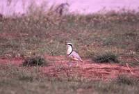 The wonderful Egyptian Plover never disappoints (C.Boix)