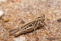 Glyptobothrus brunneus - Common Field Grasshopper
