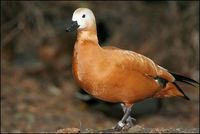 Tadorna ferruginea - Ruddy Shelduck