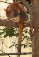 Dendrolagus goodfellowi - Goodfellow's Tree-kangaroo