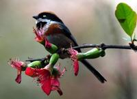 Image of: Aegithalos concinnus (black-throated tit)