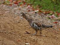 Image of: Bonasa umbellus (ruffed grouse)