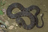 Image of: Nerodia sipedon (northern water snake)