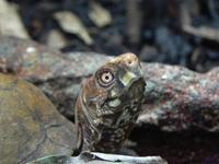 Terrapene carolina - Common Box Turtle