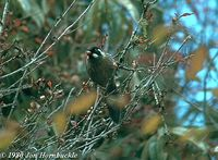 Black-faced Laughingthrush - Garrulax affinis