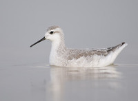Wilson's Phalarope (Phalaropus tricolor) photo