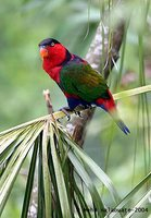 Black-capped Lory - Lorius lory