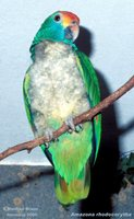 Red-browed Parrot - Amazona rhodocorytha