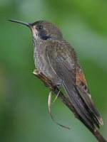 Brown Violet-ear - Colibri delphinae