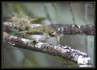 Black-throated Tody-Tyrant - Hemitriccus granadensis
